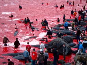 """Strage di balene alle FaerOer, 58mila """"no"""" dall'Italia"""