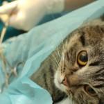 sterilizzare-gatto01