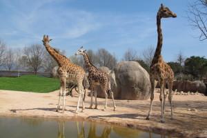 #Conoscereperconservare, a Zoom il jazz suona per le giraffe