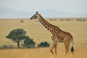Le giraffe a rischio estinzione