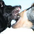 In punta di Coda | Combattimenti tra cani… la loro sofferenza per il nostro divertimento